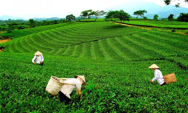 Nghệ An: Hàng trăm tấn chè khô chờ được xuất khẩu