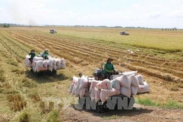 Giá gạo xuất khẩu của Việt Nam kéo dài đà tăng sang tuần thứ 5