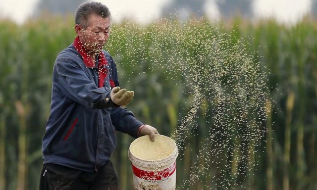Mưa lớn và thiếu điện, hàng triệu tấn ngô ở Trung Quốc có thể bị xoá sổ