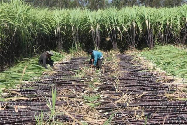 VSSA khuyến nghị các nhà máy đường tăng giá mua mía cho nông dân