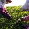 <p> Đài Loan có rất nhiều loại trà, trong đó có trà xanh là giữ được vị nguyên chất thơm ngon. Loại trà này được trồng nhiều ở phía nam Đài Bắc và thường thu hoạch rộ nhất vào mùa đông xuân. Trong ảnh là những người nông dân hái chè tại một trang trại ở Jiayvi.</p>