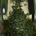 <p> Lá trà được xử lý để tránh tình trạng lên men đồng thời giữ nguyên màu sắc, hương vị.</p>