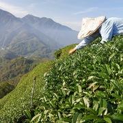 Cận cảnh đồi chè trồng ra những lá trà xanh thơm ngon nhất thế giới ở Đài Loan