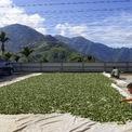 <p> Chien Shun-yih, 28 tuổi và nhóm của mình vừa mới thu hoạch trà và phơi dưới ánh nắng mặt trời để chúng khô tự nhiên trước khi đưa vào sấy.</p>