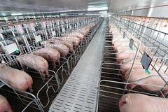 Dịch tả lợn châu Phi bùng phát mạnh trở lại: Người chăn nuôi kiệt quệ