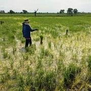 Giá một tấn phân bón cao hơn một tấn gạo Thái Lan